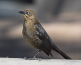 Great -tail Grackle - female