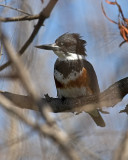 Belted Kingfisher  - female