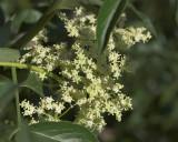 Elderberry - flowers (Sambucus mexicana)