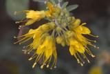 Bladderpod (Isomeris arborea)