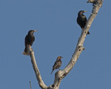 Starlings with a Brown Headed Cowbird in the middle