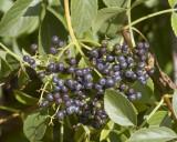 Elderberry - fruits - ripe (Sambucus mexicana)