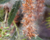 Shiny Willow (Salix lucida) - going to seed