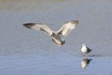 Gull Landing