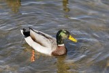 Mallard at the Forebay