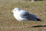Gull on the beach at the Forebay