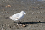 Another gull at the Forebay