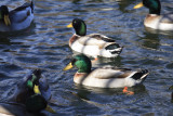 Few more Mallards