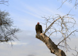 Another Vulture Shot
