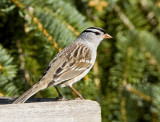 WHITE-CROWNED SPARROWS (Zonotrichia leucophrys)