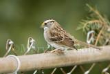 White-throated Sparrow _S9S8546.jpg