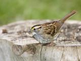 White-throated Sparrow _S9S8621.jpg