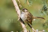 White-throated Sparrow _S9S8684.jpg