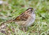 White-throated Sparrow _S9S8843.jpg