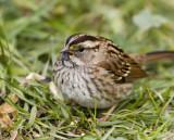 White-throated Sparrow _S9S8862.jpg
