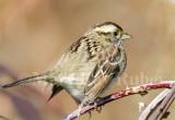 White-throated Sparrow _S9S9380.jpg