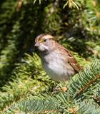 White-throated sparrow _H9G3034.jpg