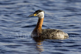 RED-NECKED GREBES (Podiceps grisegena)