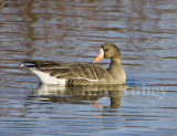 GREATER WHITE-FRONTED GEESE (Anser albifrons)