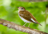 VEERY (Catharus fuscescens)