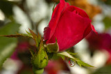 Raindrops and Roses Redux