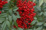 Holliday Berries