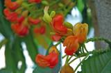 Orange Tounges