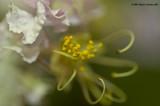 Crepe Myrtle's First Bloom