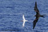 Frigate Bird and Royal Tern