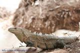 Lizard (monitor?)