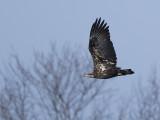 Juvi-Eagle