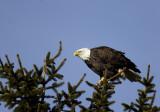 Eagle on Pine2.jpg