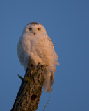 Snowy Owl Sunrise