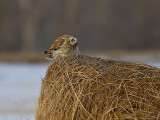 owl-with-mouse-on-hay-roll.jpg
