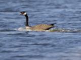 Goose mocking