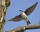 Tree Sparrow 9