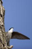 Tree Swallow 7