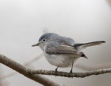 Blue-gray Gnatcatcher 3
