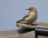 Rock Wren roof