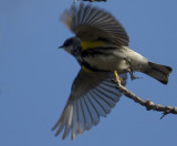 Yellow-rumped flying