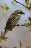 Yellow-rumped with lunch