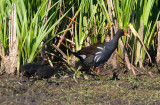 Common Moorhen with Chicks