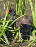 Moorhen in the weeds