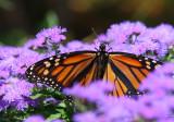 Monarch 1D