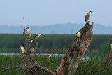 Black-crowned Night Herons