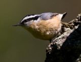 Red-breasted Nuthatch3.jpg