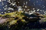 Bull Frog at Lions Den