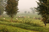 Charolais cattle in the mist