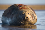 Atlantic Grey Seal (Bull)