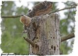 20130430 265 SERIES - Great horned Owlet.jpg